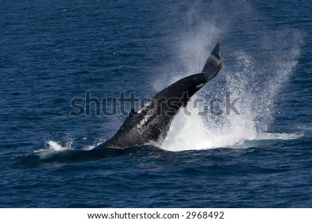 Humpback Whale Tail Salp - stock photo