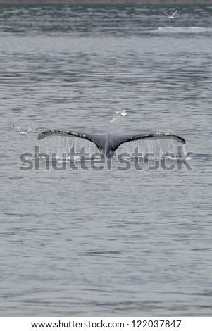 Humpback whale tail splash with seagull in glacier bay Alaska - stock photo