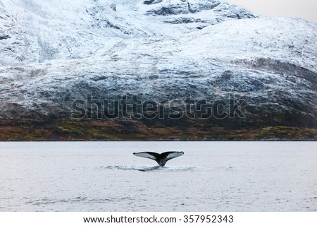 Humpback whale tale fin in the arctic  - stock photo