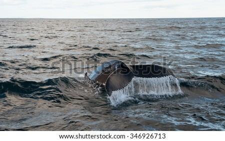 Humpback Whale,whale watching at Husavik - stock photo