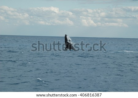 Humpback Whales breaching in Hervey bay, Australia - stock photo