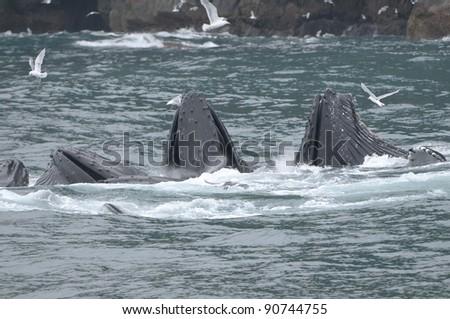 Humpback Whales Bubble Feeding - stock photo