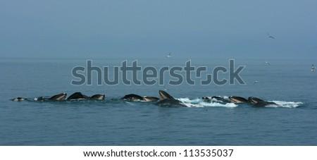 Humpback Whales Feeding, near Juneau, Alaska - stock photo