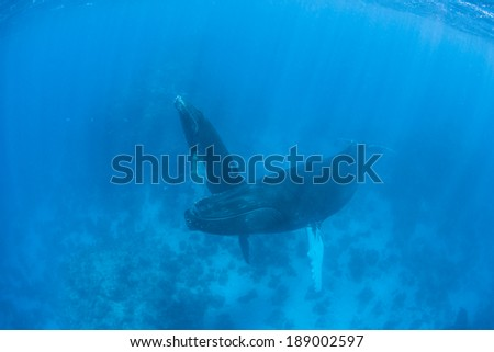 Humpback whales (Megaptera novaeangliae) ascend to the surface to breathe. These are baleen cetaceans which are quite acrobatic and known for breaching as well as their complex songs. - stock photo