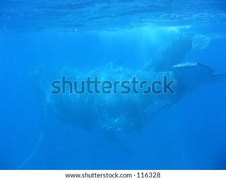 Humpback Whales, Tonga - stock photo