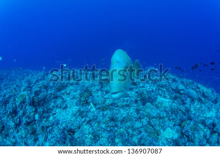 Humphead wrasse   in blue underwater - stock photo
