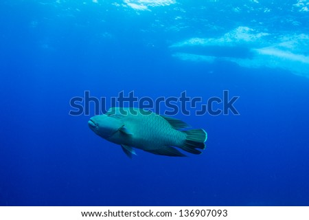 Humphead wrasse  with boat in blue underwater - stock photo