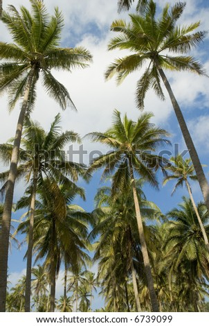 Hundreds of coconut trees in Terengganu, Malaysia. - stock photo