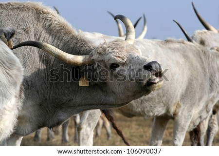 Hungarian gray cattle mooing - stock photo