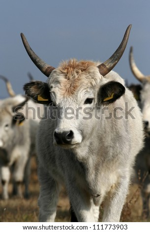 Hungarian gray cattle portrait - stock photo