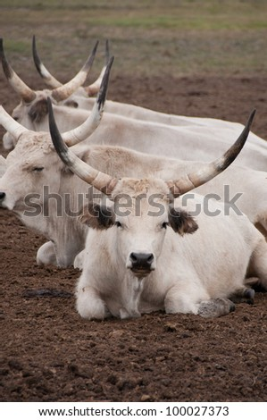 Hungarian grey bulls lying down in the puszta - stock photo