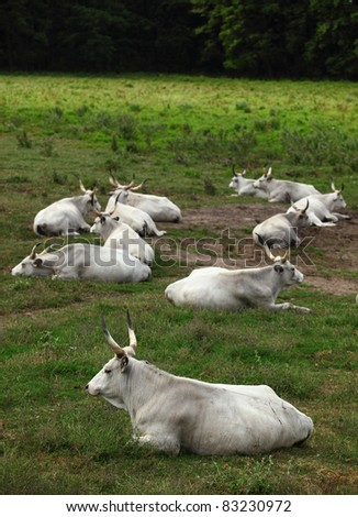 Hungarian grey cattle relax outdoor - stock photo