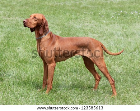 Hungarian-Short haired Pointing Dog on the meadow - Hungarian Vizsla - stock photo