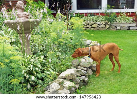 Hungarian vizla peers intently into the garden as he hunts for rodents - stock photo