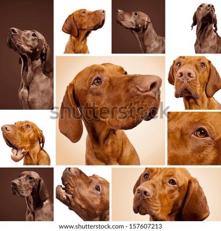 Hungarian Vizsla Dog set collage - stock photo