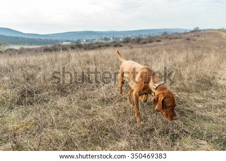 Hungarian vizsla dog sniffing the dry autumn grass on weedy meadow in the hills - stock photo