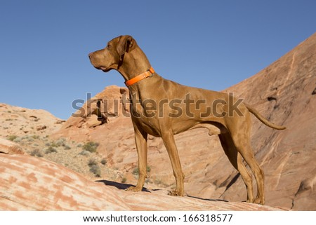 Hungarian Vizsla dog standing outdoors on red rocks with blue sky in background  - stock photo