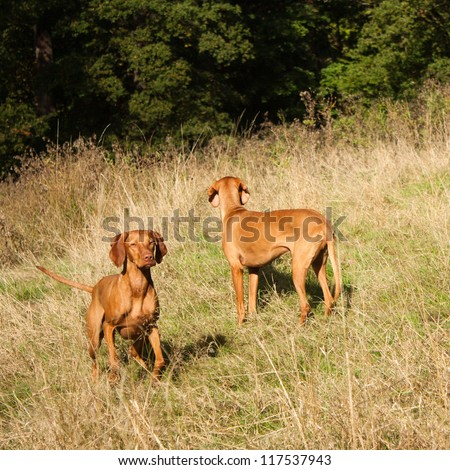 Hungarian Vizsla dogs playing in the field - stock photo