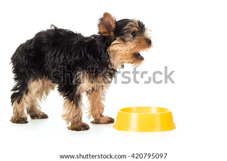 Hungry a puppy yorkshire terrier asks food - stock photo