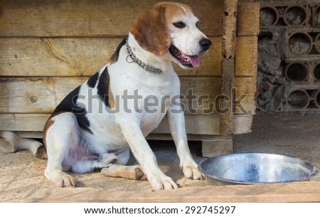 Hungry beagle dog with bowl waiting food. - stock photo