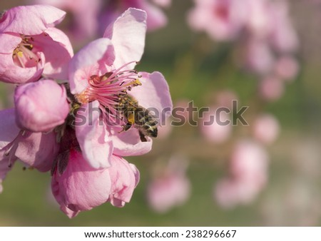 hungry bee sitting on flower head of blossoming cherry tree in spring drinking nectar - stock photo