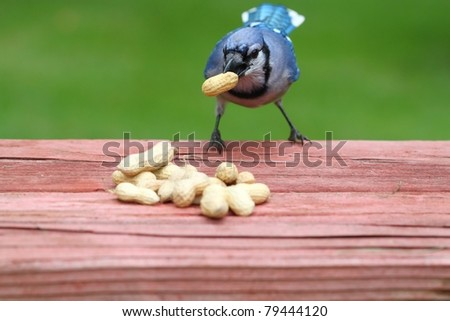 hungry blue  jay carrying a large peanut - stock photo