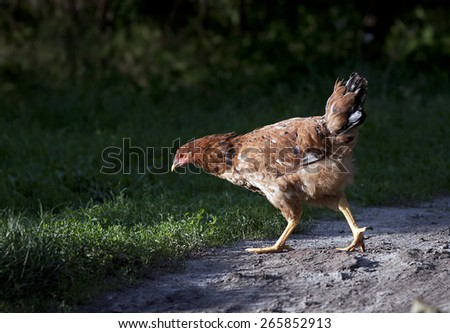 Hungry chicken walking on the ground - stock photo