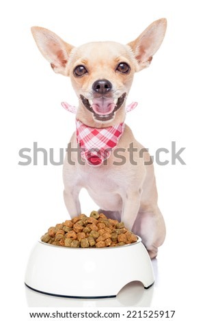 hungry chihuahua dog with a food bowl , isolated on white background - stock photo
