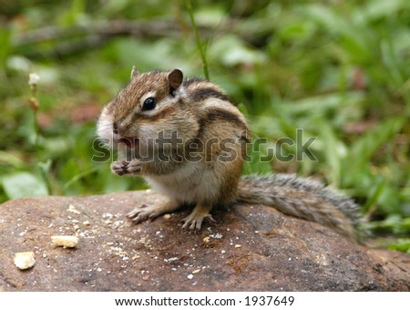Hungry chipmunk eating biscuits - stock photo