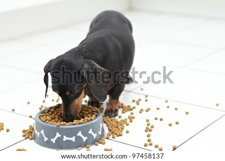 Hungry Dachshund dog breed digging into food - stock photo
