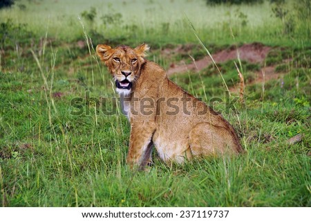 Hungry female lion sitting in green grass at Murchison Falls National Park, Uganda - stock photo