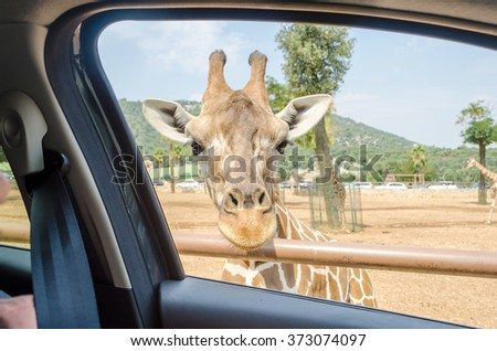 Hungry giraffe waiting for food through a car window at the zoo - stock photo