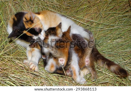 Hungry kittens suckling from his mother - stock photo