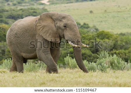 Hungry large elephant walking through lush grass in the early morning - stock photo