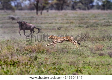 Hungry male cheetah chasing a herd of wildebeest in the Serengeti - stock photo
