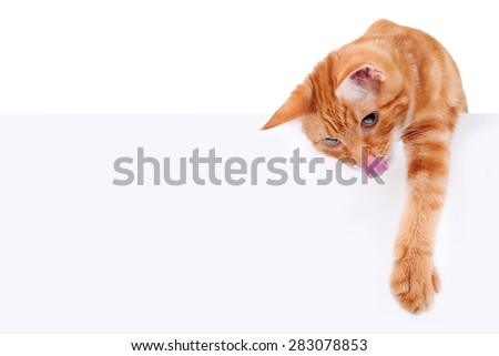 Hungry pet cat over sign or banner isolated on white - stock photo