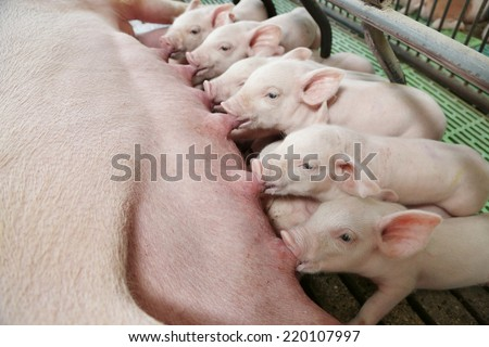 Hungry Piglets - stock photo
