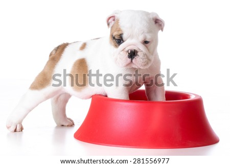hungry puppy - bulldog puppy with front feet inside large dog bowl on white background - stock photo