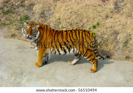Hungry Siberian tiger went hunting on the road - stock photo