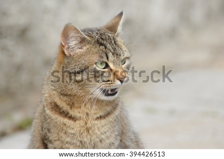 Hungry tabby cat licking his lips  - stock photo