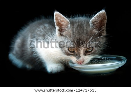 Hungry, thirsty kitty with whiskers drinking milk. White, grey kitten licking milk. Black background - stock photo
