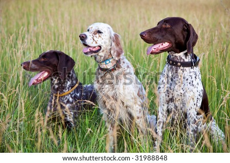 Hunter dogs - stock photo
