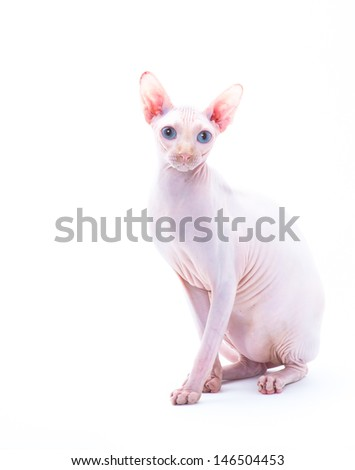 Hunter, hairless cat, sitting pretty on white background - stock photo