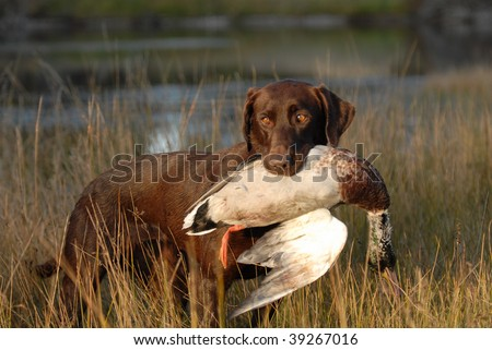 Hunting Chocolate Labrador Retriever - stock photo