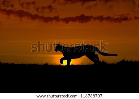 Hunting cougar silhouette. Dawn in North Dakota Badlands - stock photo