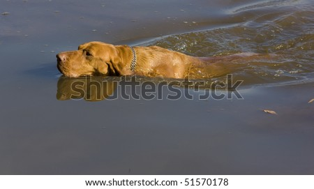 hunting dog in pond - stock photo