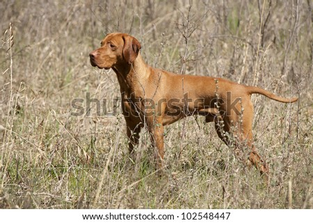 hunting dog on point in field - stock photo