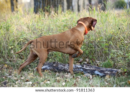 hunting dog pointing in forest - stock photo