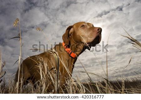 hunting dog seen from ground level through grass - stock photo