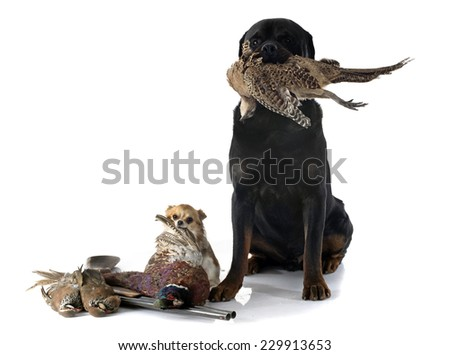 hunting dogs in front of white background - stock photo